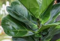 竹芋、海芋等观叶植物,叶子上有裂痕是什么原因?