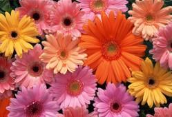 非洲菊的花语是什么?非洲菊的传说