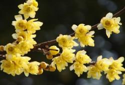 腊梅的花语是什么
