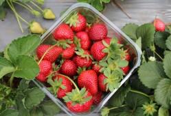 家庭盆栽草莓的水肥管理,如何种出大棚的产量和质量?