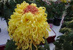 菊花图片——琥珀凝花