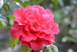 茶花的花语和传说