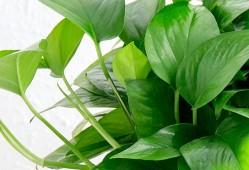 绿萝的日常养护及繁殖方法