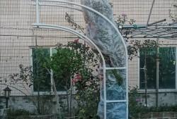 教你打造整齐开花的蓝雪花拱门!