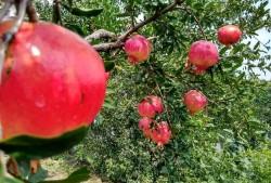石榴树在什么季节能修剪?石榴树修剪有哪些注意事项