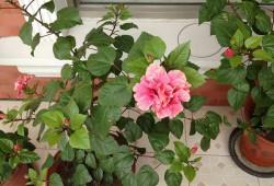 木槿花和扶桑花的区别