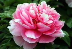 牡丹花的花语是什么