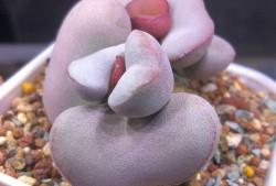 多肉植物红蛋水泡图片