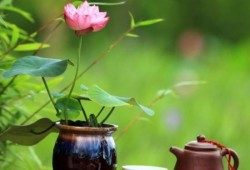 水培的碗莲不开花?教你碗莲如何种植