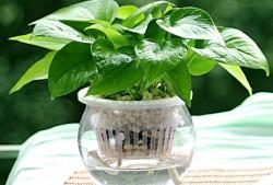 吊兰、绿萝、铜钱草水培教程,水培原来这么容易!
