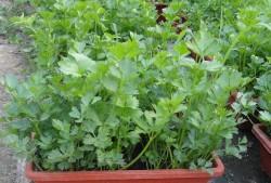 盆栽芹菜的栽培种植
