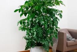 幸福树盆栽养护管理