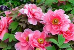 怎样分辨观赏牡丹花的真假?
