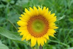 向日葵种子的种植方法和注意事项