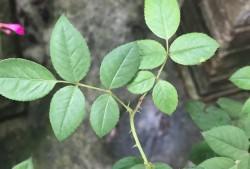 什么是月季盲枝盲芽?