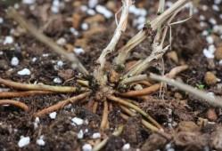 为什么铁线莲不适合使用有机肥