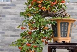 盆栽果树修根换盆