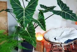 萨利安海芋图片
