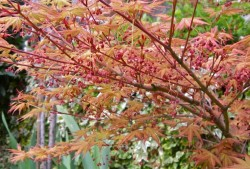 日本红枫的种植及养护技巧