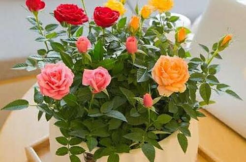 钻石玫瑰多久浇一次水