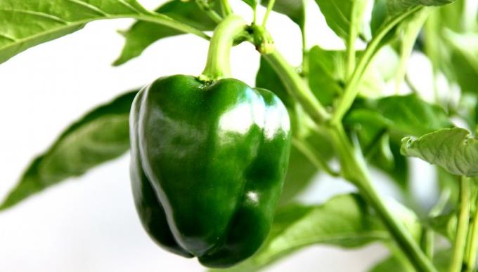 怎么在阳台上种甜椒?正确育苗是关键!
