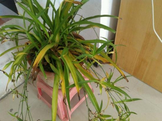 吊兰叶子发黄怎么办?冬天吊兰的养护方法