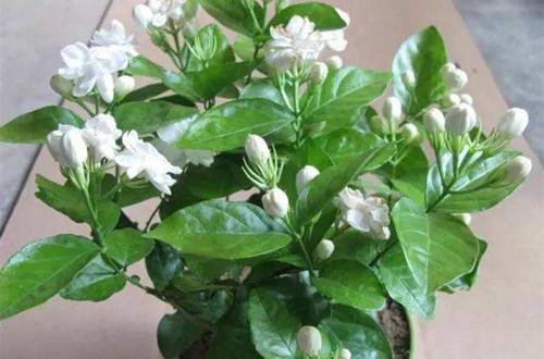 茉莉花常见的病虫害及防治方法