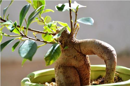 人参榕冬天怎么养?怎么浇水?