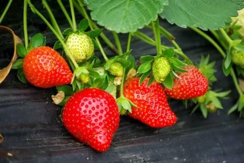 草莓品种大全(42种)
