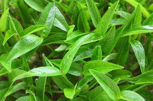 绿豆什么时候可以播种?花盆怎么种绿豆?