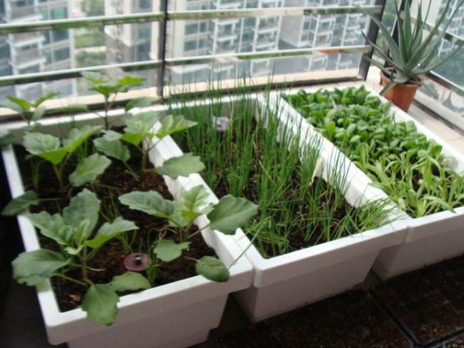 阳台种菜的栽种时间