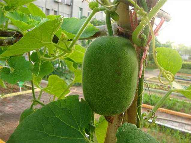 阳台怎么种冬瓜?阳台种植冬瓜的方法