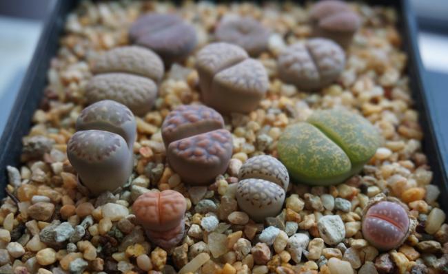 生石花的播种方法