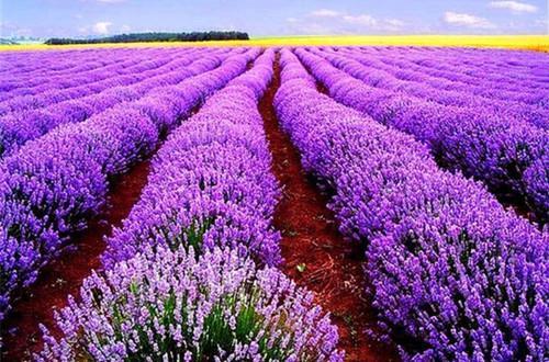 薰衣草怎么种植?薰衣草的种植方法
