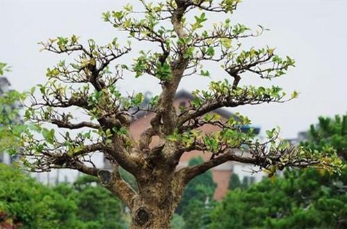 小叶黄杨盆景的制作方法和注意事项
