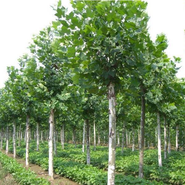 法国梧桐树冠结构淮乱、偏冠现象严重怎么办?