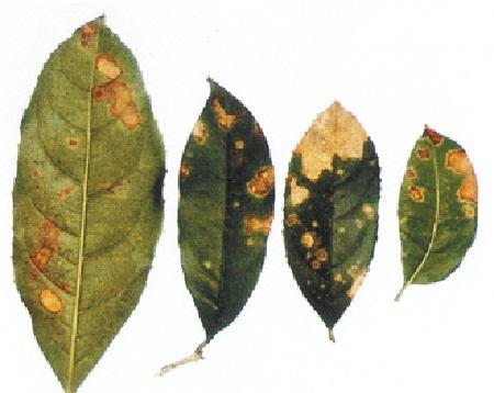 桂花树有哪些常见病虫害