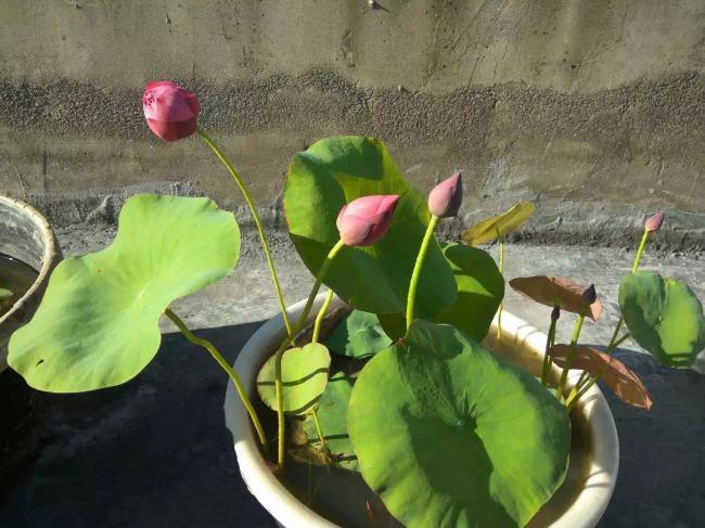 碗莲怎么种植?碗莲的种植方法与技巧