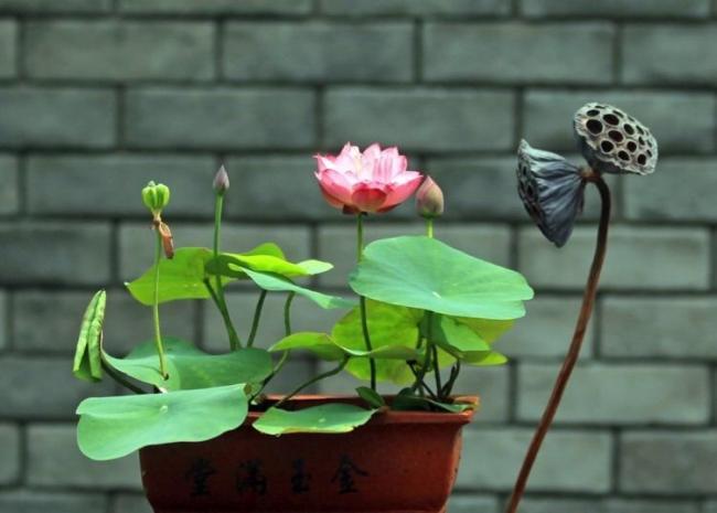 碗莲种子的详细种植方法