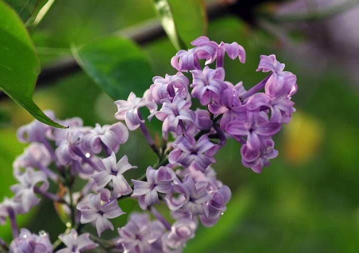 丁香花怎么养?丁香花的种植方法
