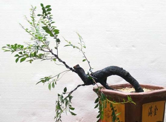 小叶紫檀盆景的养护方法