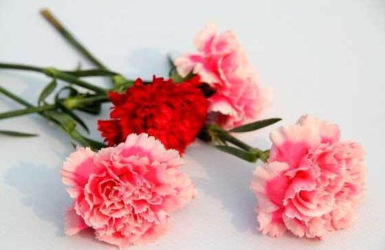 康乃馨花谢后及时修剪可再次开花