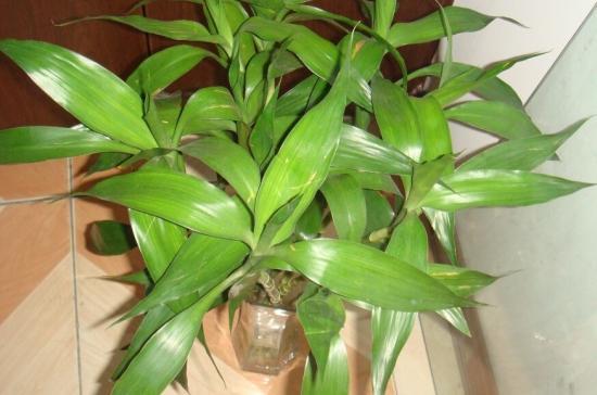 水培富贵竹叶子发黄怎么办