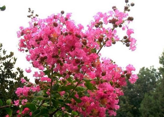 紫薇花怎么繁殖