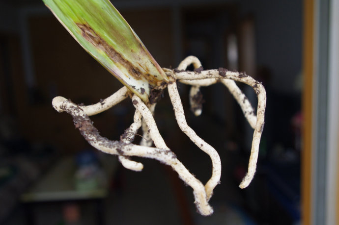 君子兰叶片繁殖方法