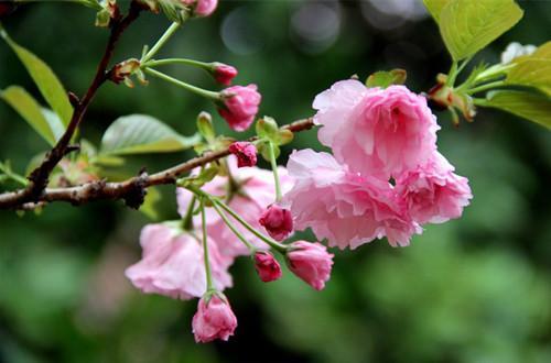 樱花什么时候开花?樱花花期怎么养护