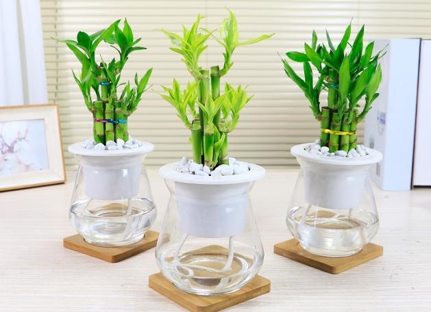 水培富贵竹夏季如何养护
