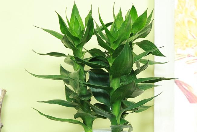 富贵竹这样养又高又绿