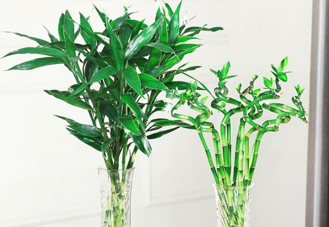 富贵竹只能水培?错!土培的富贵竹更粗壮