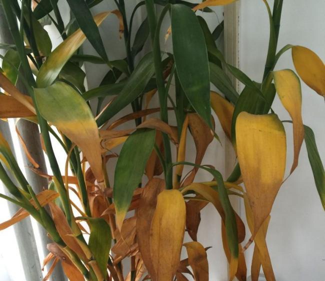 水培富贵竹叶子发黄的处理方法